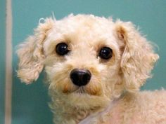 SUPER URGENT 9/9/14 Manhattan Center   LELO - A1013024   MALE, WHITE, POODLE MIN, 10 yrs OWNER SUR - EVALUATE, NO HOLD Reason PET HEALTH  Intake condition EXAM REQ Intake Date 09/05/2014, From NY 10457, DueOut Date 09/05/2014,  https://www.facebook.com/Urgentdeathrowdogs/photos/a.617942388218644.1073741870.152876678058553/868292249850322/?type=3&theater