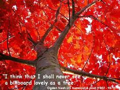 New Jersey State Tree: Flaming Red Oak Tree. New Jersey designated the red oak (Quercus borealis maxima) as the official state tree in New Jersey also recognizes a state memorial tree (dogwood). Autumn Leaves Wallpaper, Fast Growing Shade Trees, Tree Bees, Red Oak Tree, Oak Tree Tattoo, Foto Transfer, Deciduous Trees, Tree Wallpaper, Colorful Trees