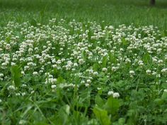Dutch clover (Trifolium repens) Impervious to dog urine. If you're tired of your high-maintenance lawn, discover a wide array of good-looking plants you can use as grass substitutes. Cheap Landscaping Ideas, Backyard Landscaping, Backyard Ideas, Landscaping Company, Backyard Patio, Clover Lawn, Grass Alternative, Dog Urine, Low Maintenance Plants