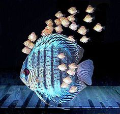 Beautiful Discus Fish!