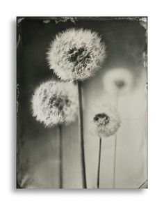 Wet plate collodion photography by Dave King, London. - wet plate photography - Wet plate collodion photography by Dave King, London. Magnum Photos, Wet Plate Collodion, Dandelion Clock, Alternative Photography, Cyanotype, Flower Plates, Portraits, Motif Floral, Art Plastique