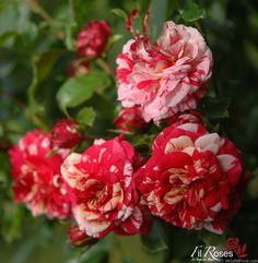 'Twist ' Rose Photo