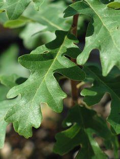 Oregon White Oak (Quercus garryana)