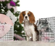 Cavalier King Charles Spaniel puppy, 6 months old, with Christmas tree and gifts in front of white background photo Spaniel Puppies For Sale, Cocker Spaniel Puppies, Spaniel Dog, King Charles Spaniel, Cavalier King Charles, I Love Dogs, Cute Dogs, Dog Competitions, Puppy Mix