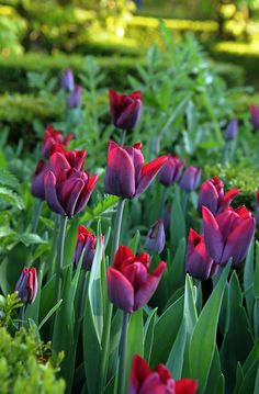 Tulipa 'Greuze' £3.99  Introduced in 1891, this tall single late tulip is still sought after for its large purple flowers, which blend effortlessly with pinks and purples. It also puts on a striking display when paired with strong red and clashing orange. The flowers are excellent for cutting.