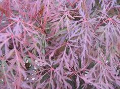 Image result for shrubs zone 5 purple