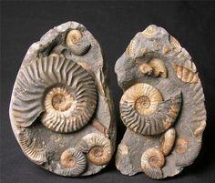 Ludwigia murchisonae (ammonites) Jurassic