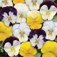 "Mixed Cool Wave Pansies- These ""cool"" pansies are ideal for baskets, spillers in mixed combos or for high-impact groundcover. The plants spread 24 to 30 inches and are covered with 1-1/2 to 2 inch blooms that hold up well in rain and eather. Mix includes solid and bicolor blooms of white, yellow, purple and violet."