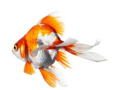 Ryukin, On my wish list Goldfish Species, Ryukin Goldfish, Golden Fish, Beautiful Fish, Fish Art, Freshwater Fish, Betta, Pencil Drawings, Colored Pencils