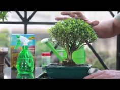 Como cuidar de Bonsai - YouTube