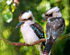 See Australian Animals and Wildlife in Australian Capital Territory Pretty Birds, Love Birds, Beautiful Birds, Animals Beautiful, Beautiful Chickens, Australian Birds, Animal Facts, All Nature, Animals Images