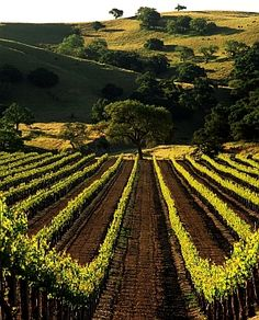 Firestone Vineyard, Los Olivos, California. Love the Santa Ynez Valley