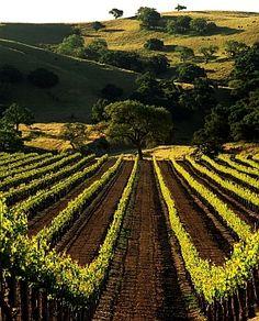 Firestone Vineyard, Los Olivos, California. Love the Santa Ynez Valley