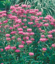 Yard and Garden: Bee Balm | Iowa State University Extension and Outreach