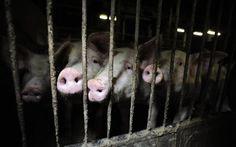 Palkittu kanadalainen valokuvaaja Jo-Anne McArthur dokumentoi sikojen oloja Suomessa. McArthurin mukaan on yleinen väärinkäsitys, että eläinten olot olisivat paremmat kehittyneissä maissa. Hän kertoo nähneensä pahimpia eläintiloja nimenomaan rikkaimmissa maissa. Ympäri maailmaa uskotaan, että eläimiä kohdellaan huonosti vain jossain muualla, ei koskaan omassa maassa.