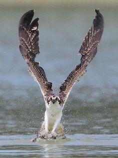 thepredatorblog:    Osprey (by winnu)