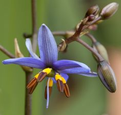 Spreading Flax-lily: Dianella revoluta - Flickr - Photo Sharing!