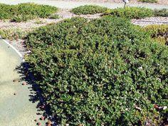 Arctostaphylos 'Emerald Carpet'
