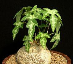 Adenia lindenii