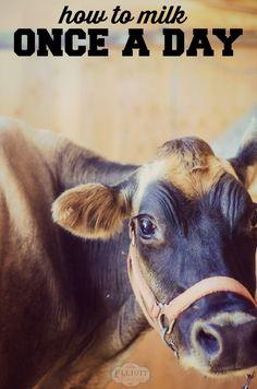 Milk Cow: How to milk once a day!   The Elliott Homestead (.com)