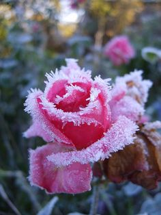 Roses, Flower, Leann, Pink, Winter, Cold, Frost, Zimojj - Publicity (Creative Commons)