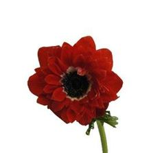 Red Anemone...it's a beautiful red, much prettier than this image...Mayesh Wholesale Florists - Search our Flower Library