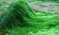 Spirulina is a certain variety of algae which is considered to be excellent for the health of the human body. Spirulina is also known as blue algae. What Is Spirulina, Warrior Diet, Vitamine B12, Green Algae, Vitamin B Complex, For Your Health, Health And Nutrition, Health Care, Veggies