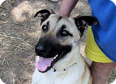 Winnsboro, SC - German Shepherd Dog/Great Dane Mix. Meet Ivy a Dog for Adoption. tell 'em u met her  on PeggySmithArts