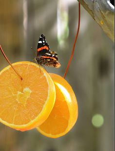 Butterflies love oranges, hang some orange slices in your garden to attract them.
