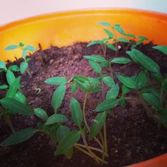 Two weeks ago, I sliced a tomato and planted it. Today we have tiny tomato saplings.. Nature is magical.  #gardening #garden #flowers #plants #nature #growyourown #flower #gardener #gardens #gardenlife #summer #gardendesign #mygarden #organic #plant #plantsofinstagram #naturephotography #photography #gardeninspiration #garten #green #gardeners #growyourownfood #instagarden #urbanfarming #landscape #greenthumb #landscaping #homegrown #bhfyp Grow Your Own Food, Urban Farming, Garden Inspiration, Garden Design, Nature Photography, Landscaping, Organic, Gardening, Flowers
