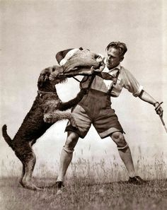From a 1941 German portfolio book. The image depicts a Airedale Terrier doing Schutzhund like bite work on a paddle sleeve.