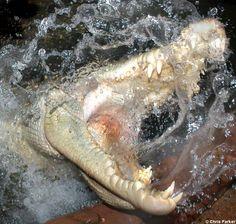 crocodile attack   Crocodilians: Natural History & Conservation: Crocodiles, Caimans ...