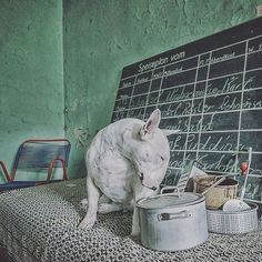 Sometimes it's only my fear of prison food that stops me. #zoomnl #clairethebullterrier #prisonbreak #prisonfood #urbexdog #urbexbullterrier #furbex #alicevankempen #knast #LiveForTheStory #365dagenzomer #prisondog #pudding