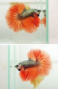 Copper monster orange Fish Under The Sea, Betta Fish Types, Fishing World, Beta Fish, Siamese Fighting Fish, Halfmoon Betta, Beautiful Fish, Freshwater Fish, Tropical Fish