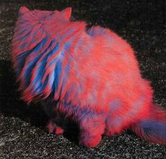 this is amazing.  I'm guessing they dyed the cat entirely blue, let it dry, then sprayed orange lightly with a spray bottle or blowpen just enough to get the outer bits of fur