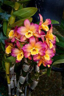 Orchid Dendrobium grex Oriental Smile 'Fantasy'