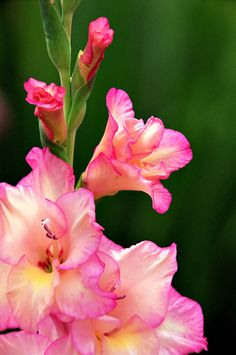 Capricorn Weekly Horoscope 10 - 16 August, Personal celebration connected with a relative. Planting Bulbs, Planting Flowers, Amazing Flowers, Beautiful Flowers, August Birth Flower, Gladiolus Flower, Gladiolus Tattoo, Birth Flower Tattoos, Love Garden