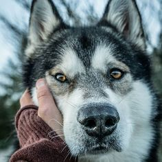 14 Fun Facts About Alaskan Malamutes You Should Know Giant Alaskan Malamute, Alaskan Malamute Puppies, Malamute Husky, Reptiles, Animals And Pets, Cute Animals, Handmade Dog Collars, Dog Wallpaper, Mans Best Friend