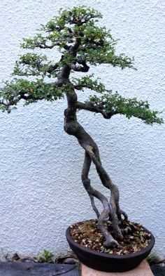 Chinese elm, Chinese elm bonsai, elm bonsai