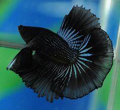 808 Black Orchid HM male