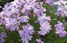 "Phlox subulata ""Emerald CushionBlue"" Teppichphlox HP10feucht, trocken; Blüte: lila IV-VI"