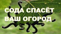 СОДА ОТ МУРАВЬЕВ   Дачники