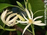 Magnolia sirindhorniae cv. Bali  Click to see full-size image