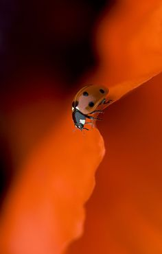 Lady in Red. 7 spot Ladybird on a red oriental poppy petal - Jacky Parker Fotografia Macro, Photo Portrait, Tier Fotos, Mundo Animal, Happy Colors, Shades Of Red, Orange Shades, Belle Photo, Beautiful Creatures