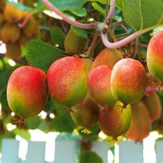 Ideal Zitrone Orange Feige bei uns finden Sie exotische Obstpflanzen f r Garten Terrasse und Balkon Gesunde Fr chte und bunte Bl ten wie im Sommerurlaub