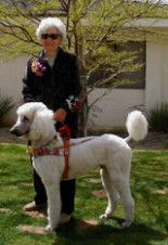 Standard poodle Seeing Eye dog.  They are wonderful at this task.