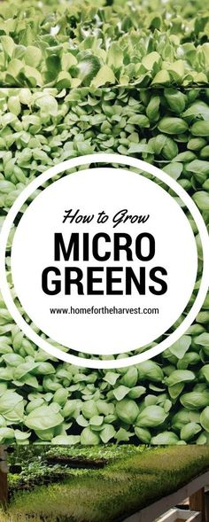 How to Grow Microgreens | Home for the Harvest