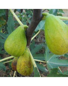 Ficus carica 'Dalmatie' – Füge Ficus, Fruit, Figs, Fig, Ficus Tree