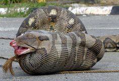 A 90 kgs python after eating a sheep. Una pitón de 90 kilos es fotografiada tras haberse comido a una oveja preñada, en el pueblo de Kampung Jabor (Malasia). Los bomberos del pueblo le brindaron este festín a la serpiente prófuga, para que así, con su ganada lentitud, la pudieran atrapar con mayor facilidad. (13/07/2013)