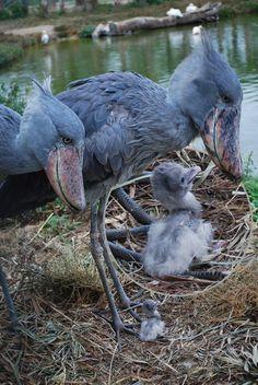 Shoebill stork parents with teeeeeeeeny baby.